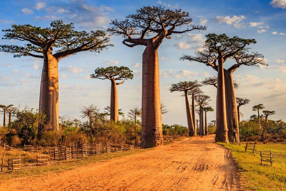 Baobab Oil Benefits